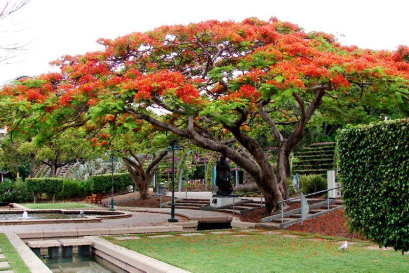 Best trees for Brisbane gardens