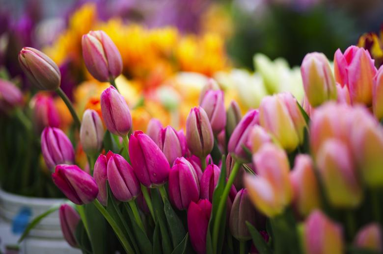tulip bulbs2