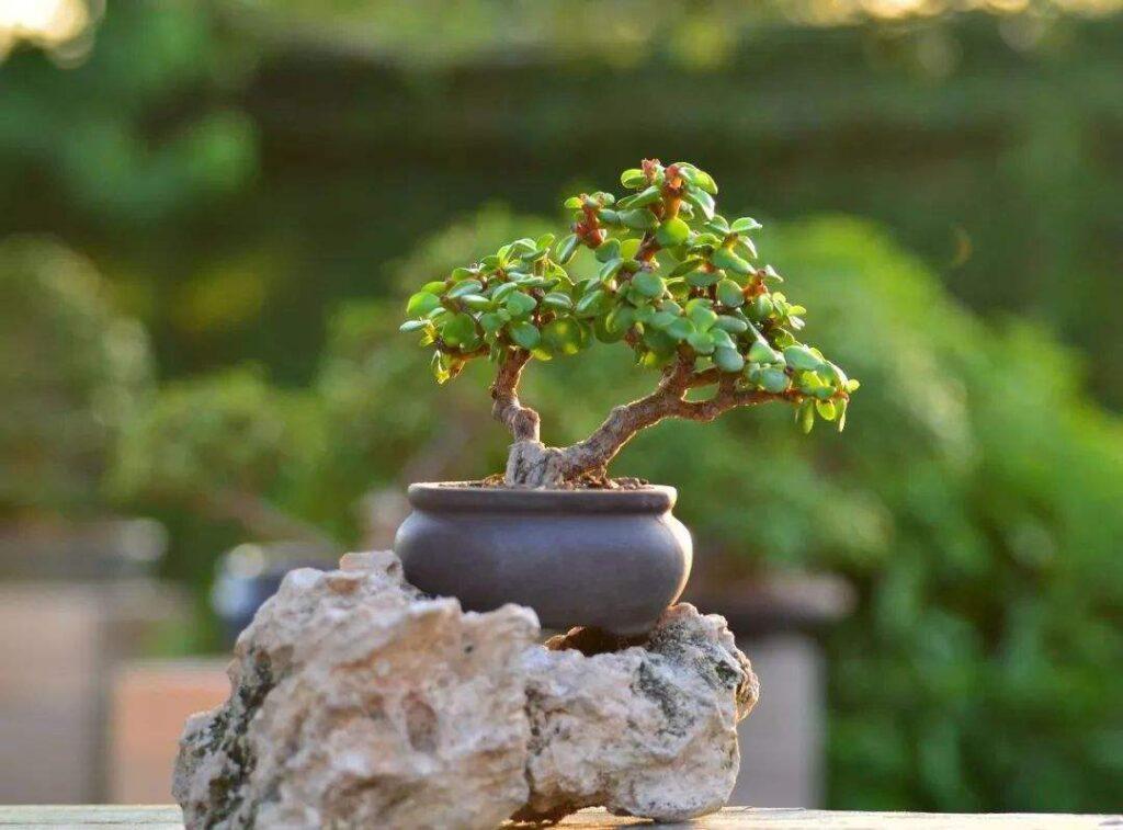 Best Bonsai2