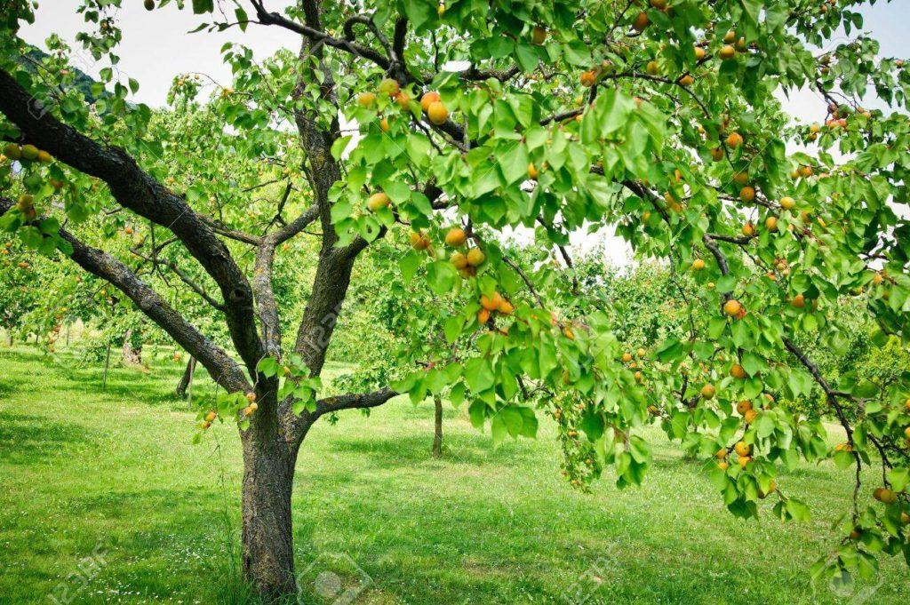 Apricot Trees 2
