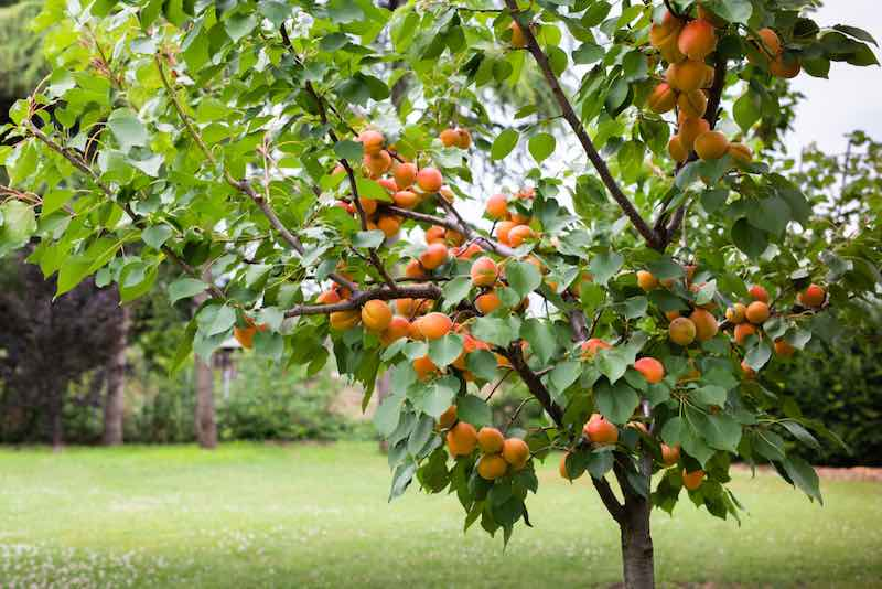 A,Bunch,Of,Ripe,Apricots,Branch,In,Sunlight